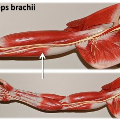 Triceps Brachii Diagram Vauxhall Vectra Radio Wiring Large Arm Model Muscles Of The Upper
