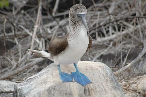 Oiseau à pieds bleus