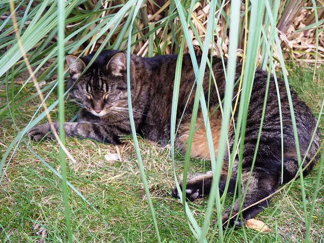 Tabby relaxing in the Pampas