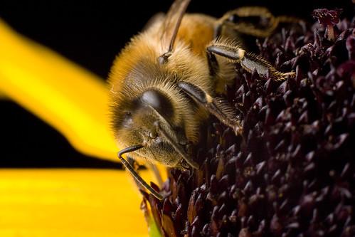 Honeybee courtesy of Brian McCann