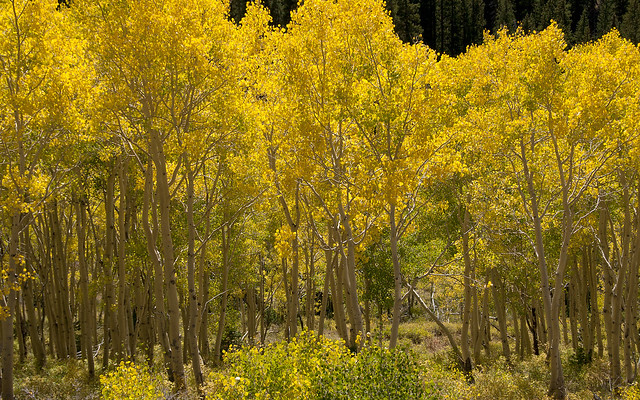 Golden Quaking Aspen Grove