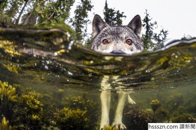 swimming-sea-wolves-pacific-coast-canada-ian-mcallister-5_700_467