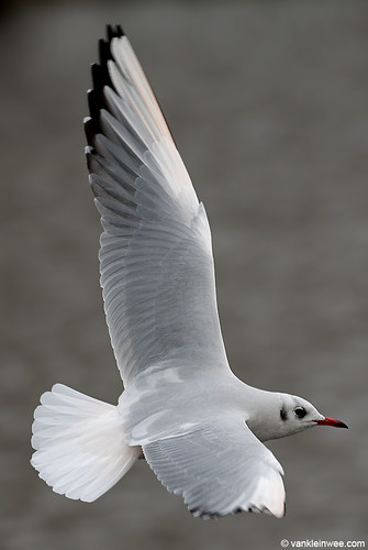 Black-headed Gull, adult, leucistic