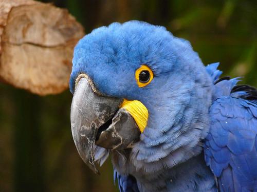 Ft. Worth Zoo - Hyacinth Macaw