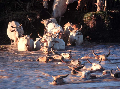 Orma Boran cattle crossing a river in Kenya