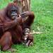 Orangutan and child