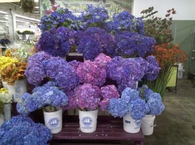 Blue, Purple, Lavender Hydrangea