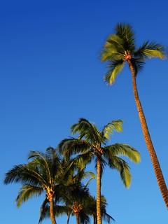 Palm Trees at Hulopoe Bay Resort