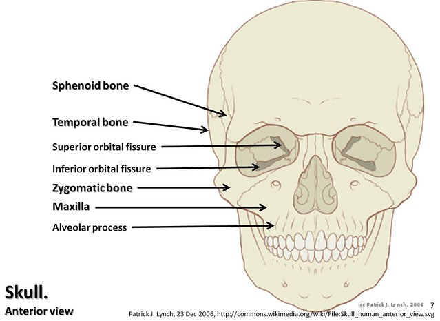 bones of the skull anterior view diagram wiring for pollak 12 705 diagram, with labels part 2 - axial skeleton visual atlas, page 7 | flickr ...