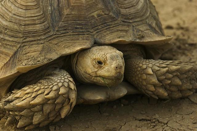 Turtle    (Sudan)