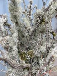 mossy branches lichen branches