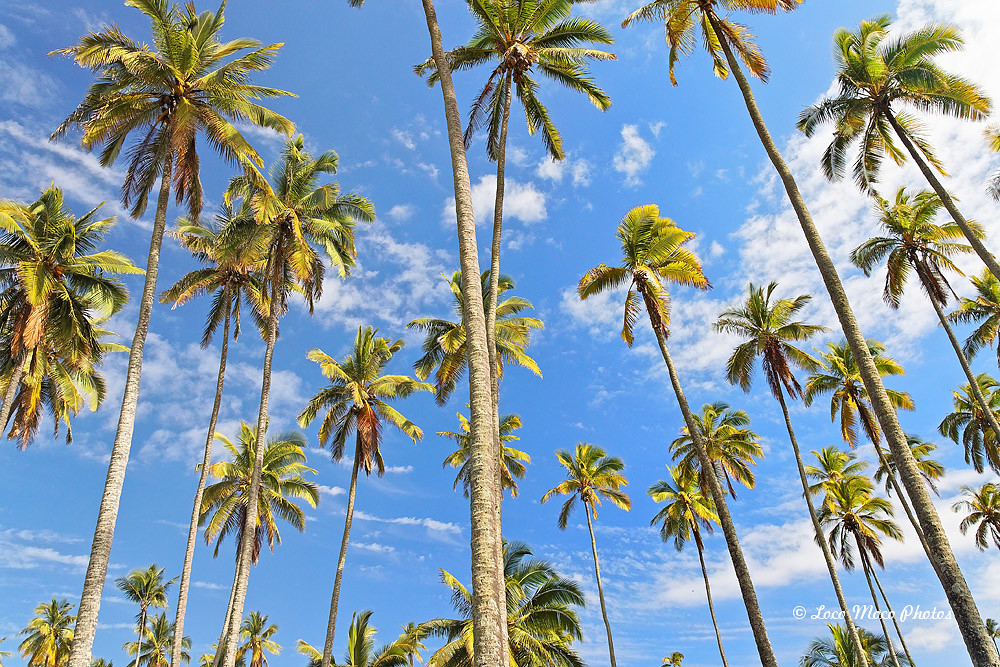 Coconut Tree Grove