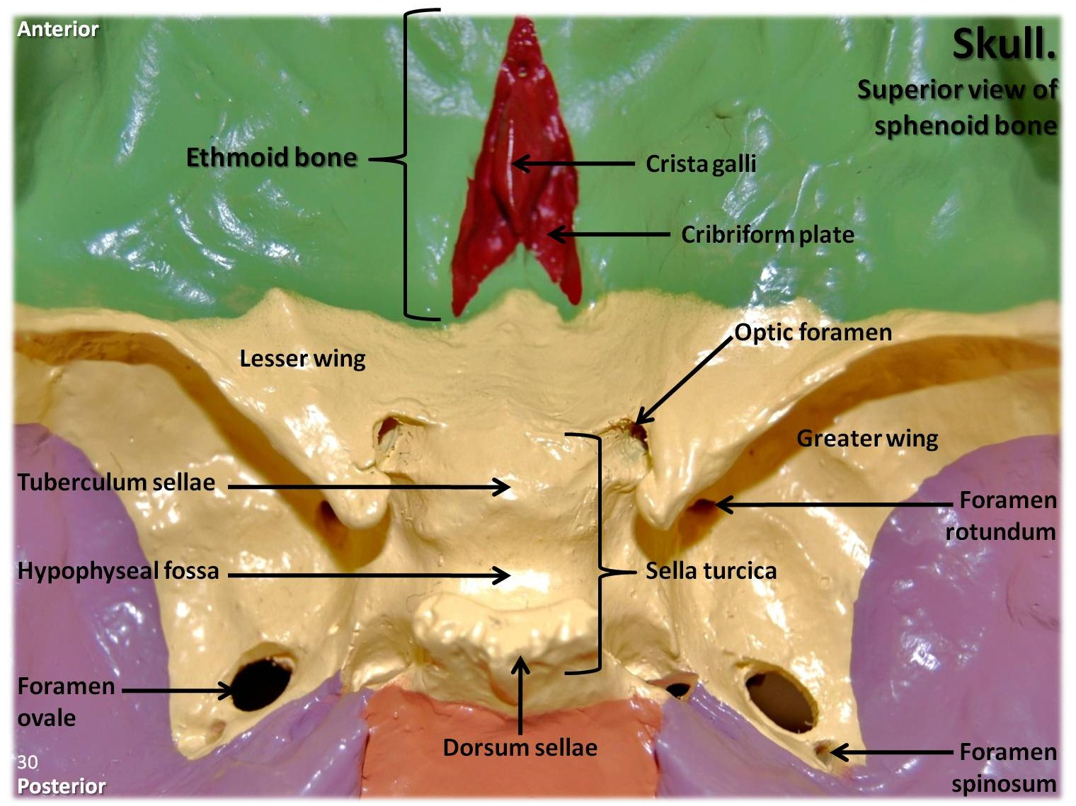 ethmoid bone diagram sea doo jet ski parts multi colored skull superior view of and sphenoid