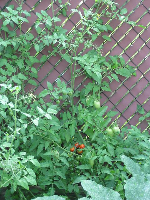 Climbing Tomatoes  Flickr  Photo Sharing