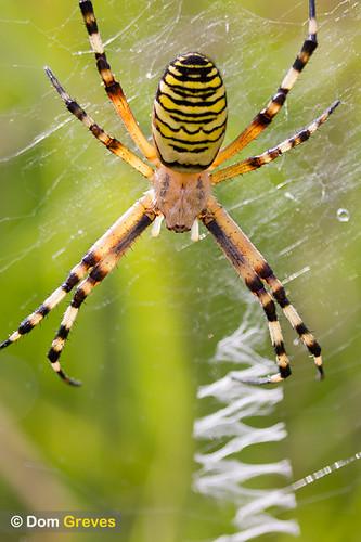 Female wasp spider (Argiope bruennichi)
