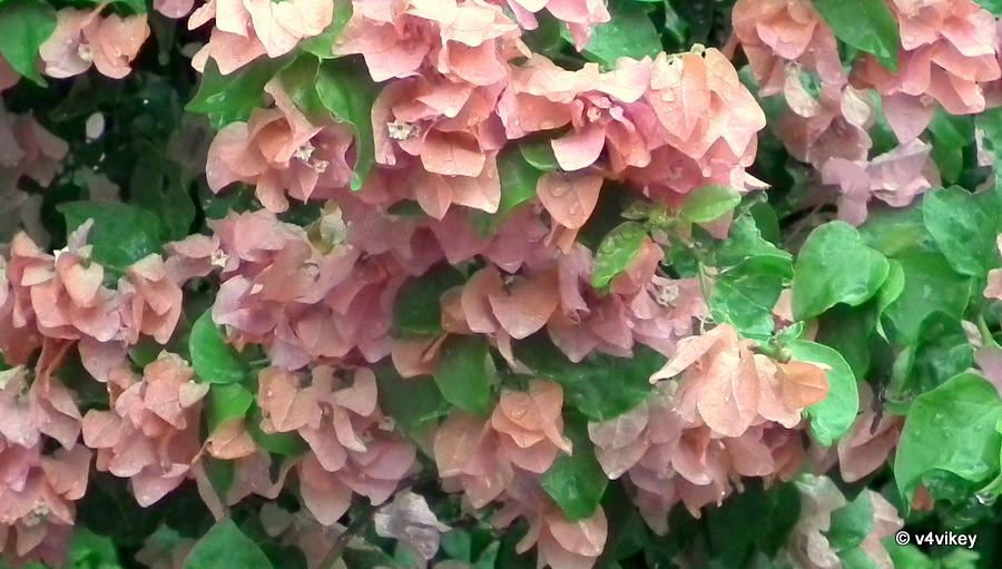 Rain Drops on Flowers