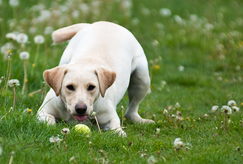 yellow Labrador ready to pounce on a ball