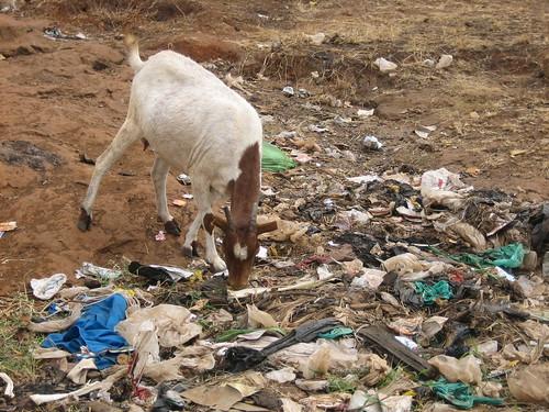 Goat in Kibera