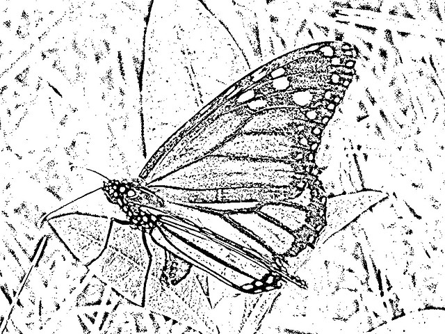 Female Monarch Butterfly About To Lay Eggs Line Drawing