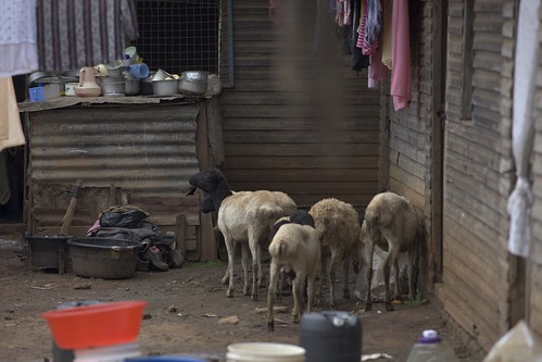 Animals outside Josephine Napkonde's house in a slum in Nairobi
