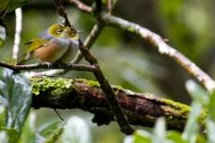 Silvereye birds