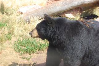 Black bears are okay according to Mike