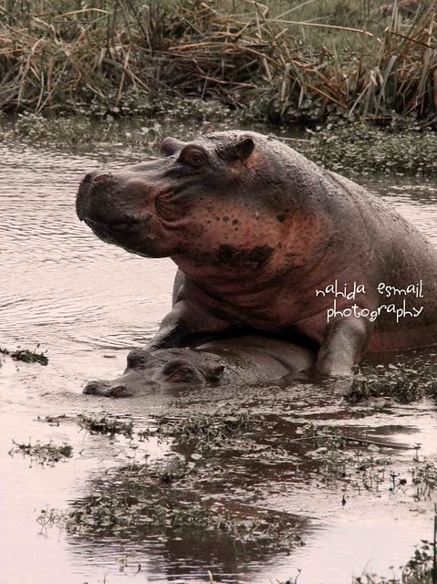 Hippos Mating Flickr Photo Sharing