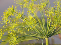 Lovely flowering dill
