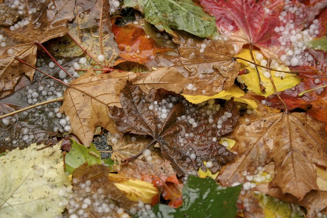 Yellow, Orange, Brown and Green Fall Leaves With Hail