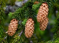 spruce branches with cones for Christmas