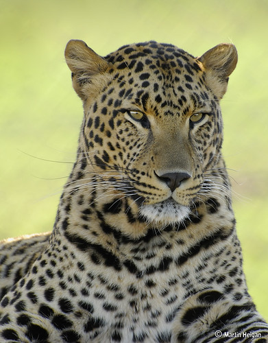 Leopard Portrait by Martin_Heigan