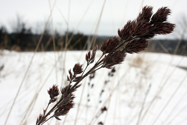 Wildflower seeds in winter at Afton State Park