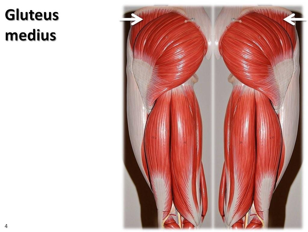 Gluteus Medius