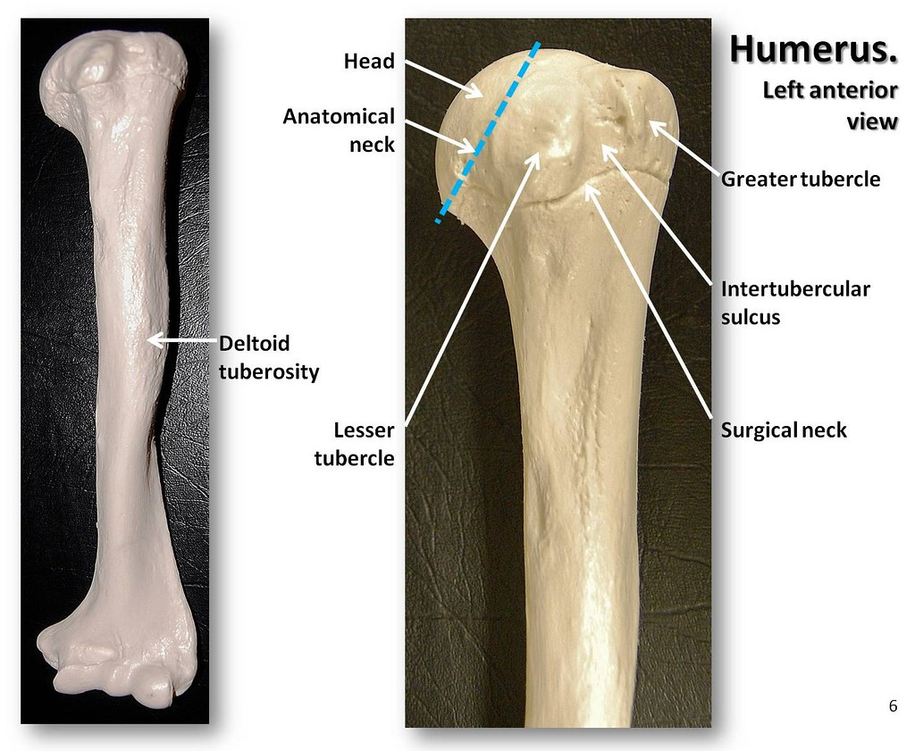 Humerus Anterior View With Labels