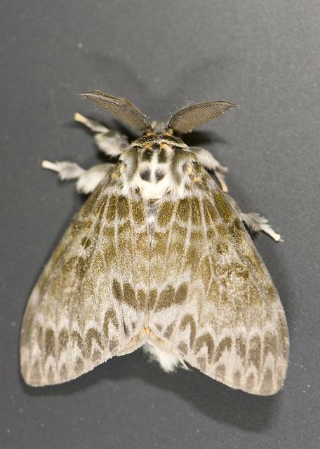 Gypsy Moth  Flickr  Photo Sharing