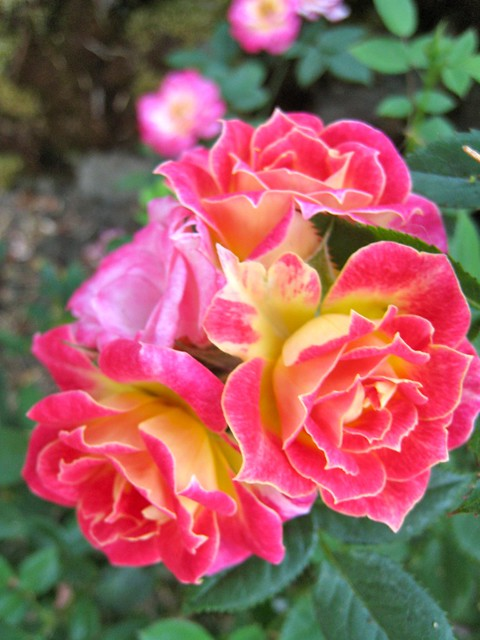 Tiddly Winks miniature rose Flickr Photo Sharing!