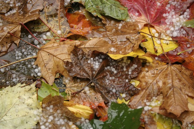 Yellow, Orange, Brown and Green Fall Leaves With Bits of Hail