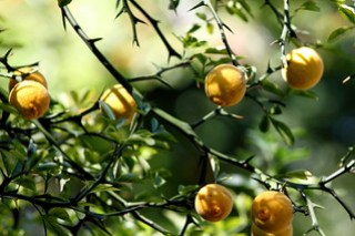 National Arboretum Fruit Tree