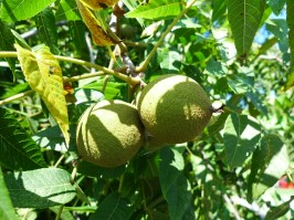 Cluster of Black Walnut fruit