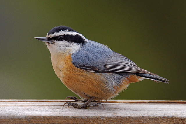 Red Breasted Nuthatch Bird Photo Call And Song Sitta Canadensis