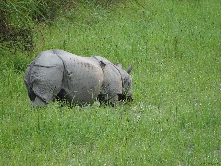 A Rhino Spotted In Kohora, Kaziranga