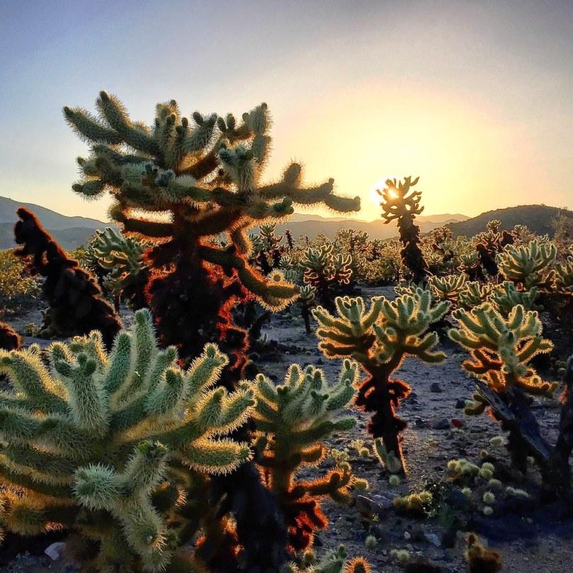 Cholla Cactus Garden - Joshua Tree National Park - California