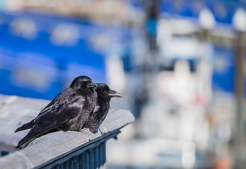 Raven buddies