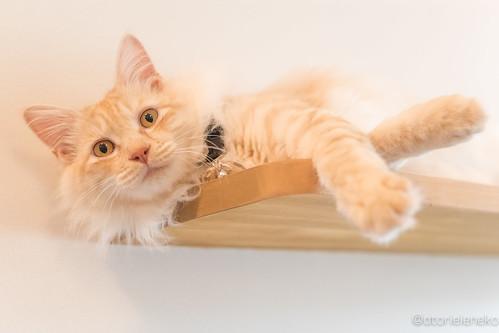 アトリエイエネコ Cat Photographer 34614100885_ce311ac053 保護猫カフェ カーラ・キャット・カフェ