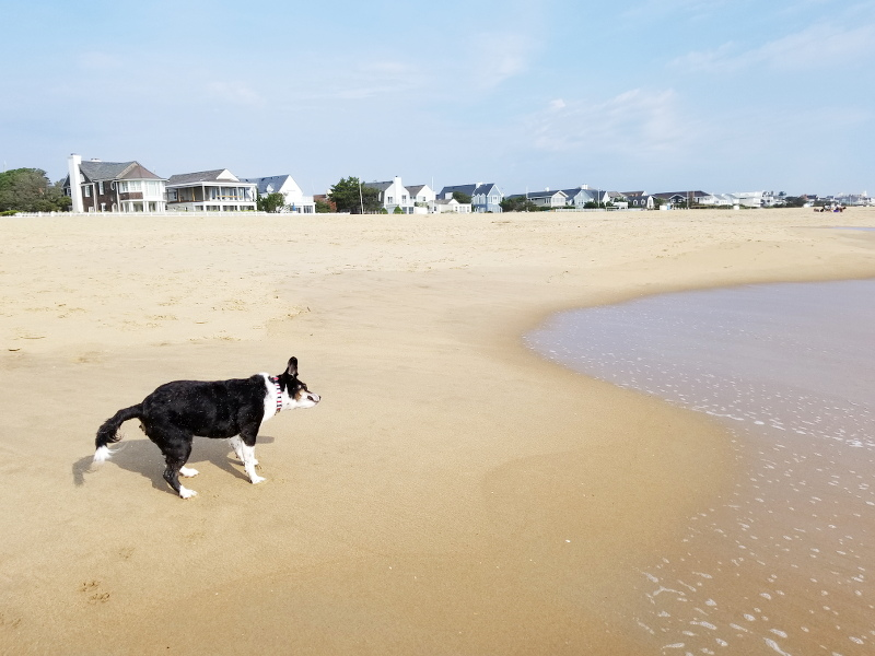 oceanfront-virginia-beach-louis-beagle-dog-5