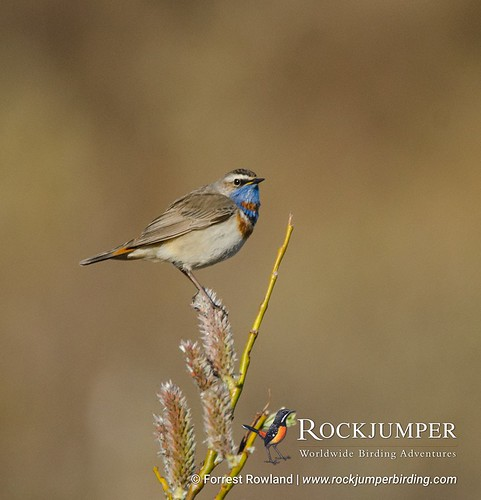 Bluethroat, photographed by Forrest Rowland in Nome, Alaska