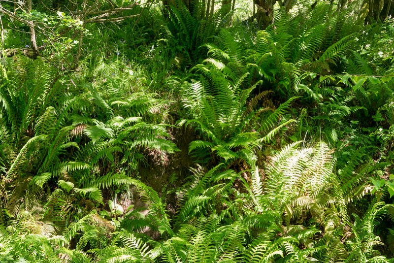A superb display of Male Ferns close to East Creech.