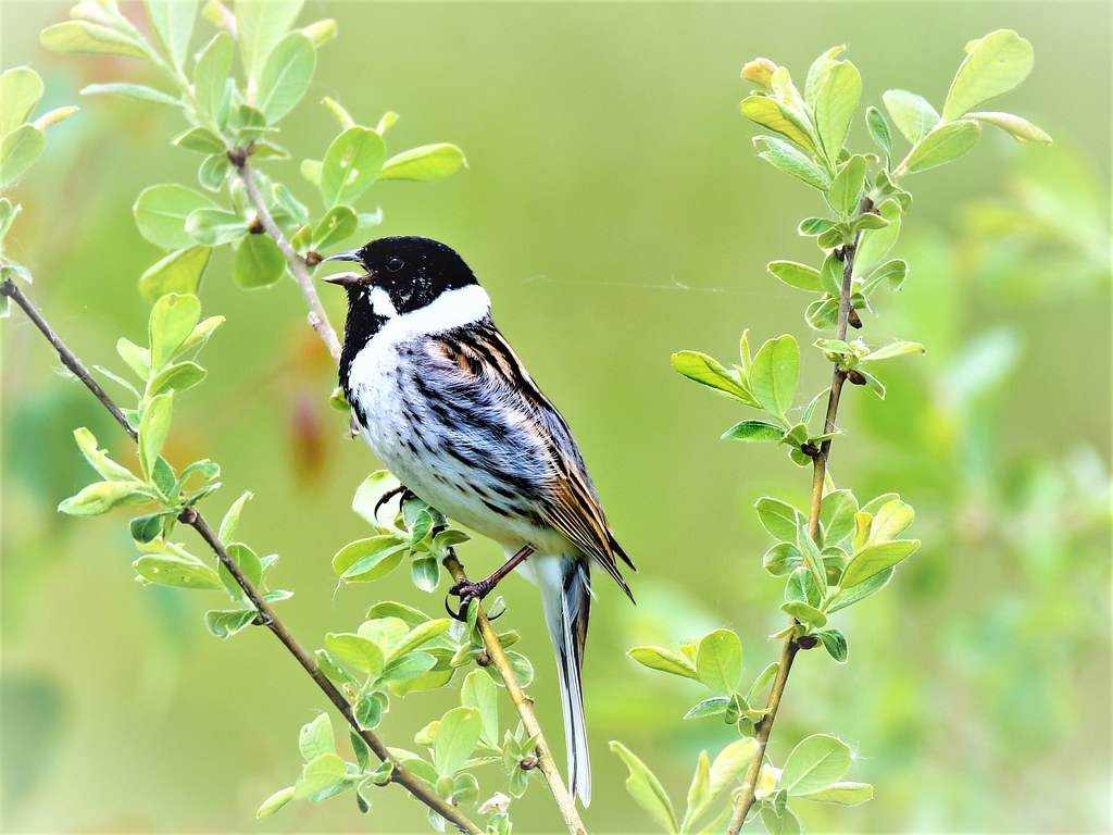Reed Bunting at Staveley