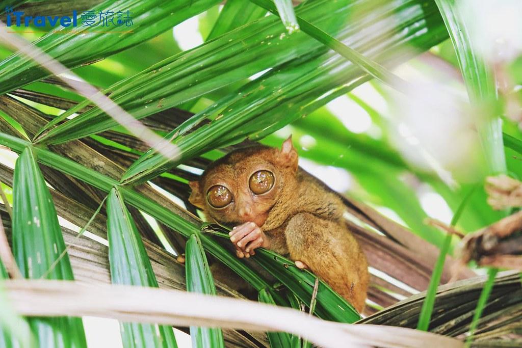 菲律宾薄荷岛眼镜猴保育中心 Tarsier Sanctuary (1)