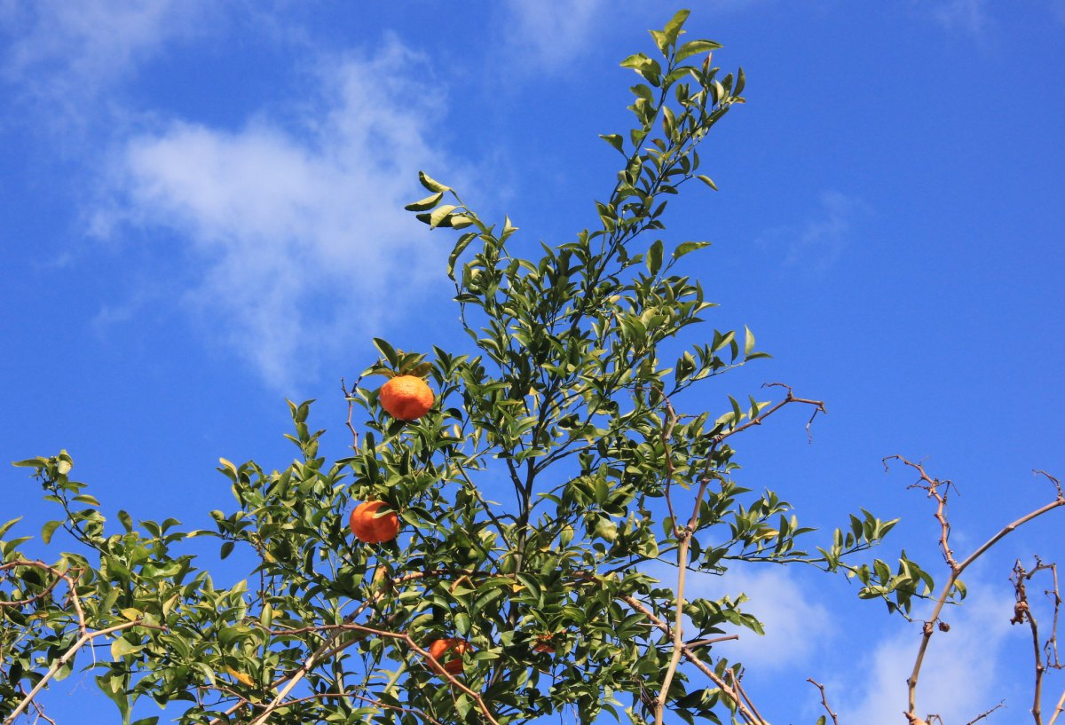 The bitter orange trees were full of fruit during our Northern Cyprus travel